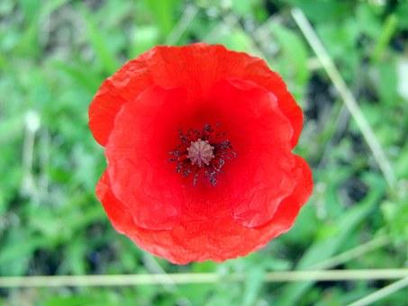 red-amapola-14815__340